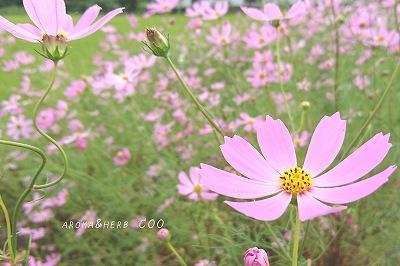 天草 秋桜