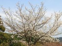 お万ケ池の桜