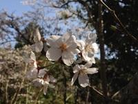 教良木ダムの桜