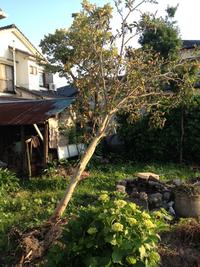 台風で倒れかけた枇杷の木・・・・