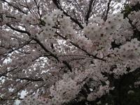 桜の下でピンクのワインはいかが?