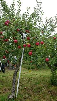 秋田山麓園りんご狩り♪