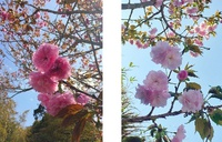 事務所の桜が見頃です 2018/04/04 14:07:57