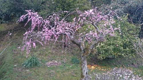 2016ハイブリッド梅の木