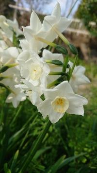 きれいな花 水仙の花