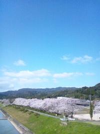 天草コレジヨ公園の桜並木 2012/04/01 10:08:00