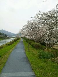 コレジヨ公園の桜 2013/03/23 22:23:00