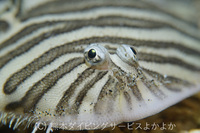 昨夜は2017年に新種記載されたサクラダンゴウオ狙いの上天草の海でのナイトダイビングのご案内